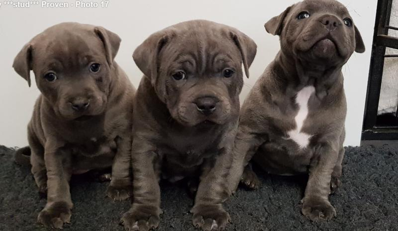 Blue Staffy For Sale : Stunning chunky blue staffy pups ready in shrewsbury friday ad