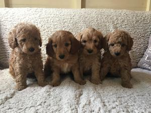Puppies & Dogs for Sale in Siddington, Macclesfield - Buy a