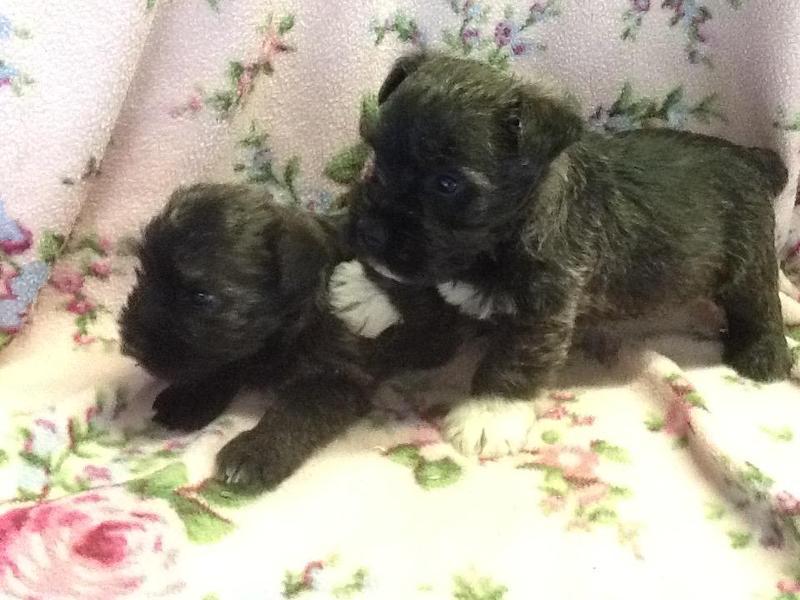WONDERFUL WAUZER PUPPIES, westie x miniature schnauzer in Boncath