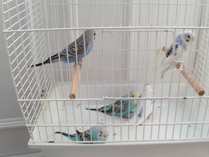 BABY BUDGIES FOR SALE in Chester Le Street - Sold   Friday-Ad