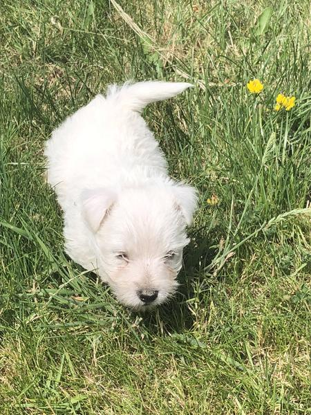 west highland terrier puppies in Wolverhampton - Expired
