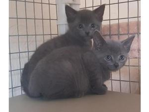 Blue Kittens For Sale : Russian blue cats kittens for sale friday ad