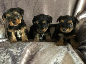 Yorkshire Terrier Puppies Amp Dogs For Sale Buy A Puppy
