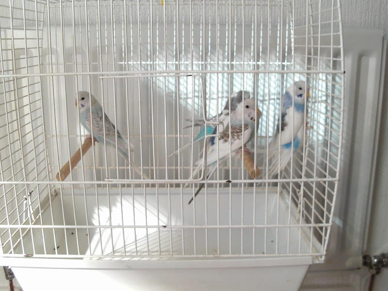 BABY BUDGIES FOR SALE in Durham - Sold | Friday-Ad
