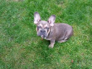Blue Staffy For Sale : Blue staffy french bulldog puppy s in mirfield expired friday ad