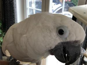 Birds for Sale in Crays Hill | Friday Ad