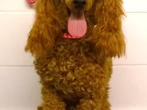 Red toy poodle boy puppy available in Chichester - Expired
