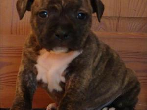 Blue Staffy For Sale : Staffordshire bull terrier puppies dogs for sale friday ad