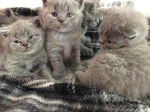 Blue Kittens For Sale : British shorthair cats kittens for sale in middlesex friday ad