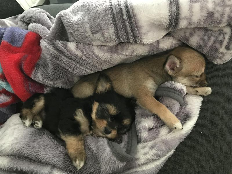 Chihuahua Cross Shih Tzu Puppies In Hastings Expired Friday Ad