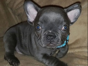 Puppies Dogs For Sale In Stanton Under Bardon Buy A Puppy Near
