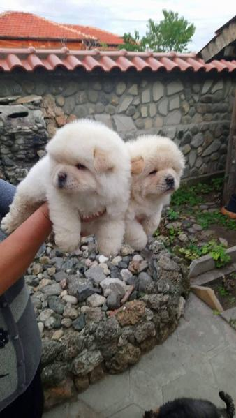 Chow Chow Puppies White In London Expired Friday Ad