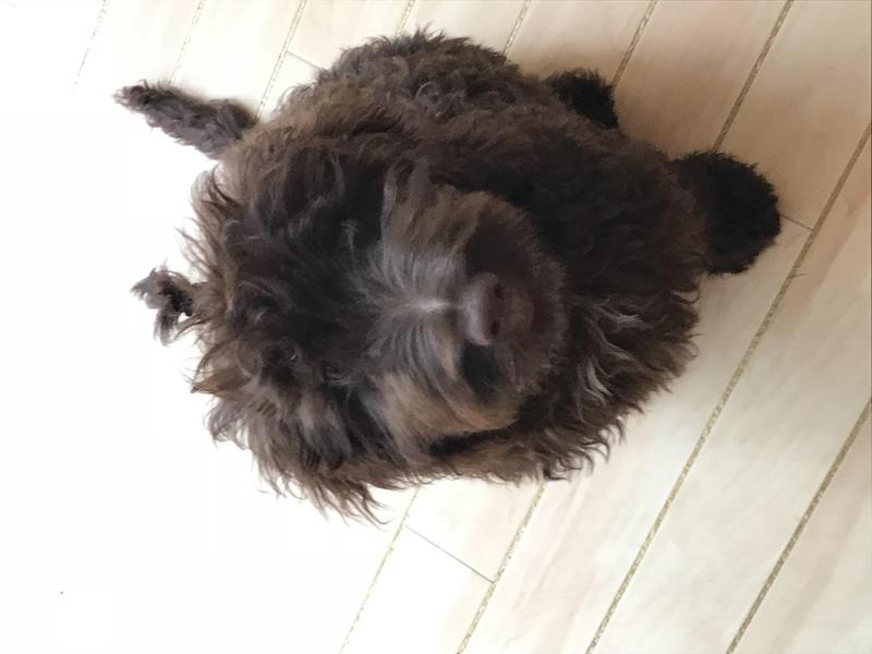 Cockapoo Young Adult Dogs For Sale