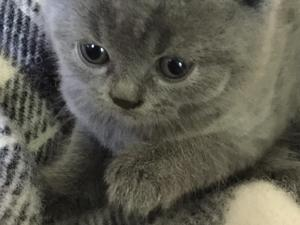 Blue Kittens For Sale : British shorthair cats kittens for sale in edgware friday ad