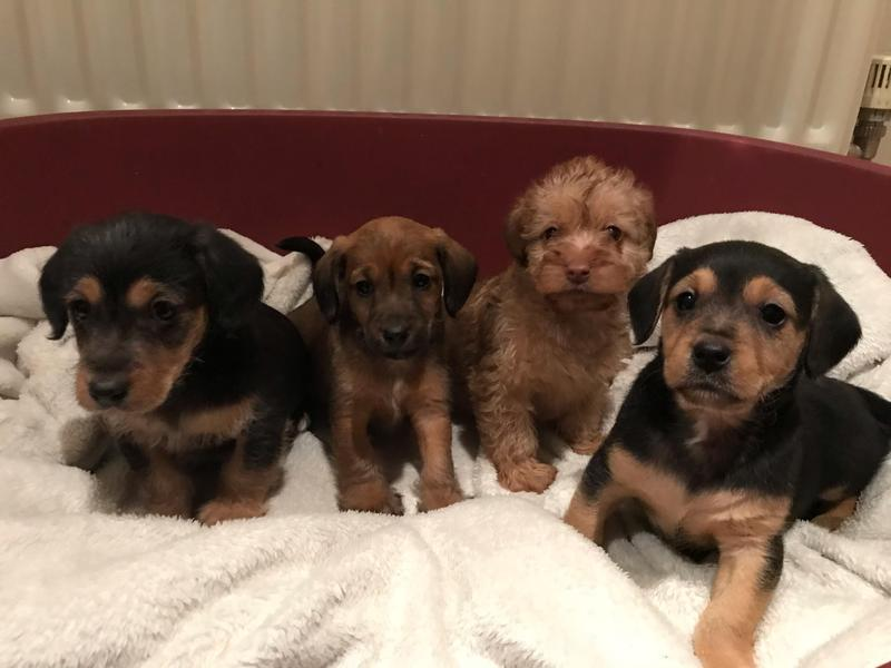Gorgeous miniature jackapoo puppies in Lutterworth - Expired