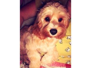 Cavapoo Puppies In London Sold Friday Ad