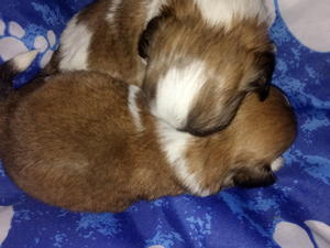 Shih Tzu Puppies Dogs For Sale In Wigan Buy A Puppy Near You