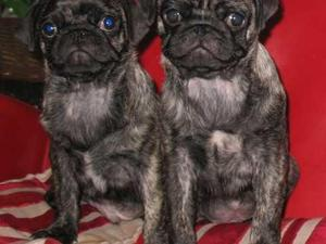 Male Puppies Dogs For Sale In Clifton Nottingham Buy A Puppy