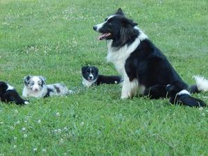 Border Collie Puppies & Dogs for Sale in Somerset - Buy a