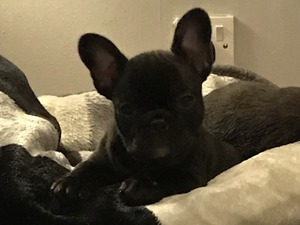 French Bulldog Solid Blue Kc Reg In Solihull Expired Friday Ad