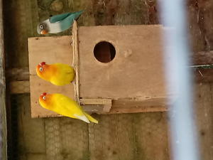 Lovebirds for sale in Crawley - Expired | Friday-Ad