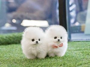 Lovely fluffy miniature Pomeranian boy in sable orange color in