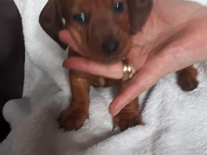 Dachshund Puppies & Dogs for Sale in Chesterfield - Buy a