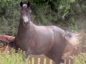 Arab horse Horses for Sale | Friday-Ad