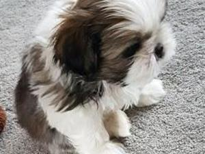 Shih Tzu Puppies & Dogs for Sale - Buy a puppy near you