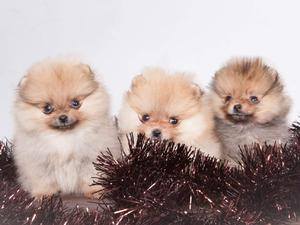 Pomeranian & teacup Pomeranian puppies for sale in London | Friday-Ad