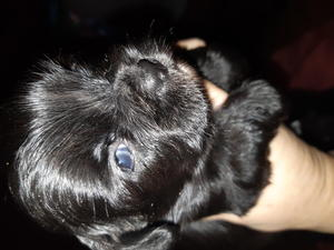 pomchi x puppies in Bexhill-On-Sea - Expired | Friday Ad