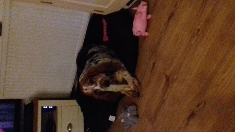 Basset hound girl for sale in Barnsley   Friday Ad