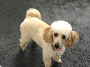 Poodle Puppies & Dogs for Sale in Surrey - Buy a puppy near