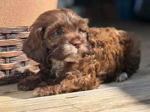 Cockapoo puppies & dogs for sale in Sheffield   Friday-Ad