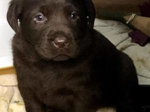 Labrador Puppies Dogs For Sale In Cardigan Buy A Puppy