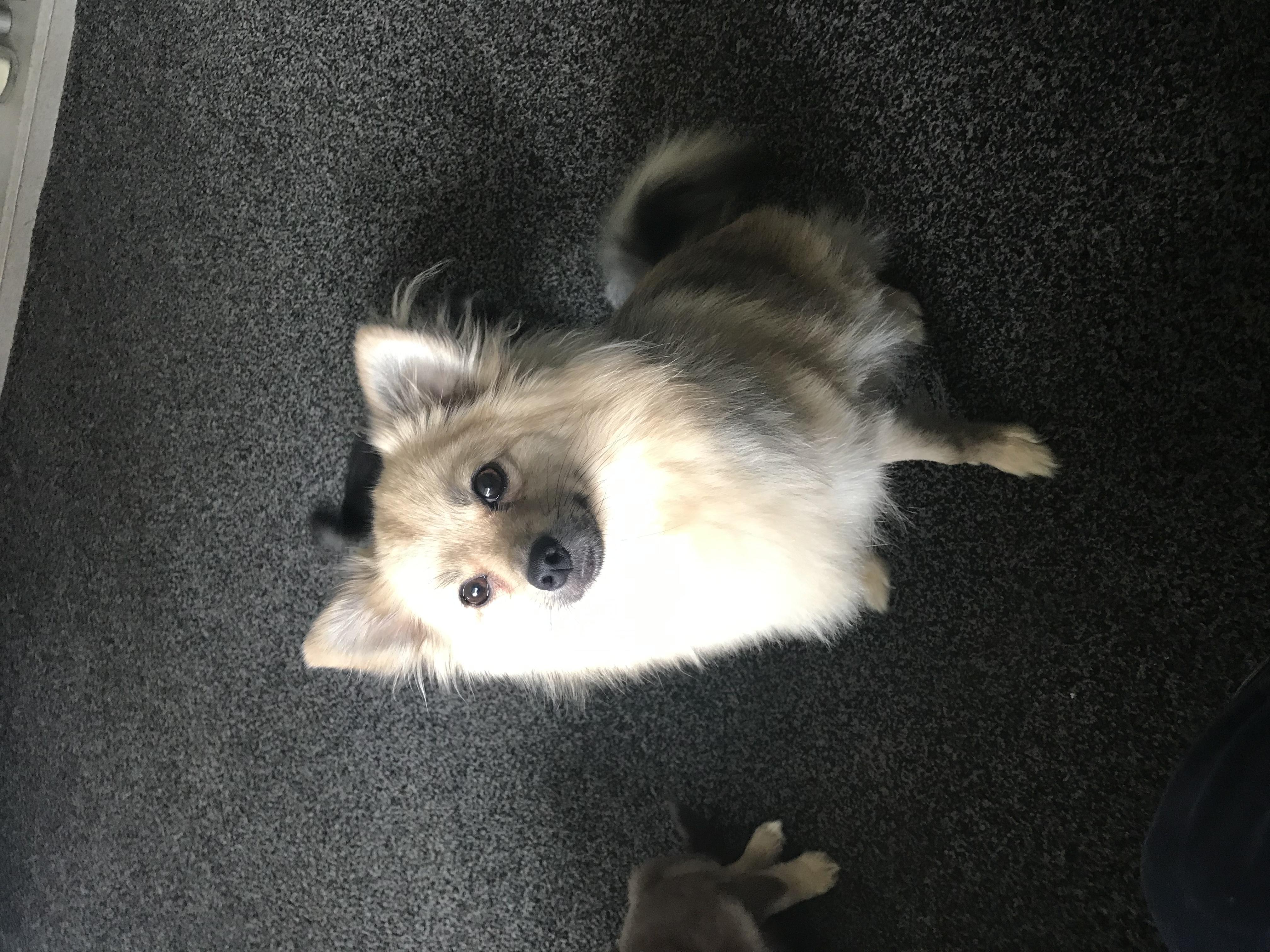 Pomchi puppies for sale in Rotherham - Sold | Friday Ad