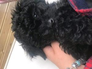 2 beautiful black and white shitzu cross poodle in Lincoln