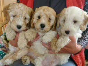 F1 miniature cockapoo puppies in Ashford - Expired | Friday Ad