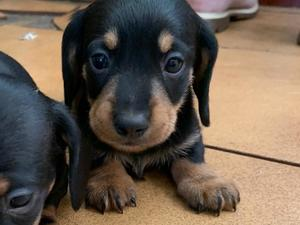 Dachshund Puppies & Dogs for Sale in Eastbourne - Buy a puppy near