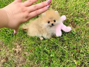 Pomeranian & teacup Pomeranian puppies for sale in Romford