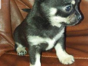 Teacup dogs for sale in Cheltenham Friday-ad