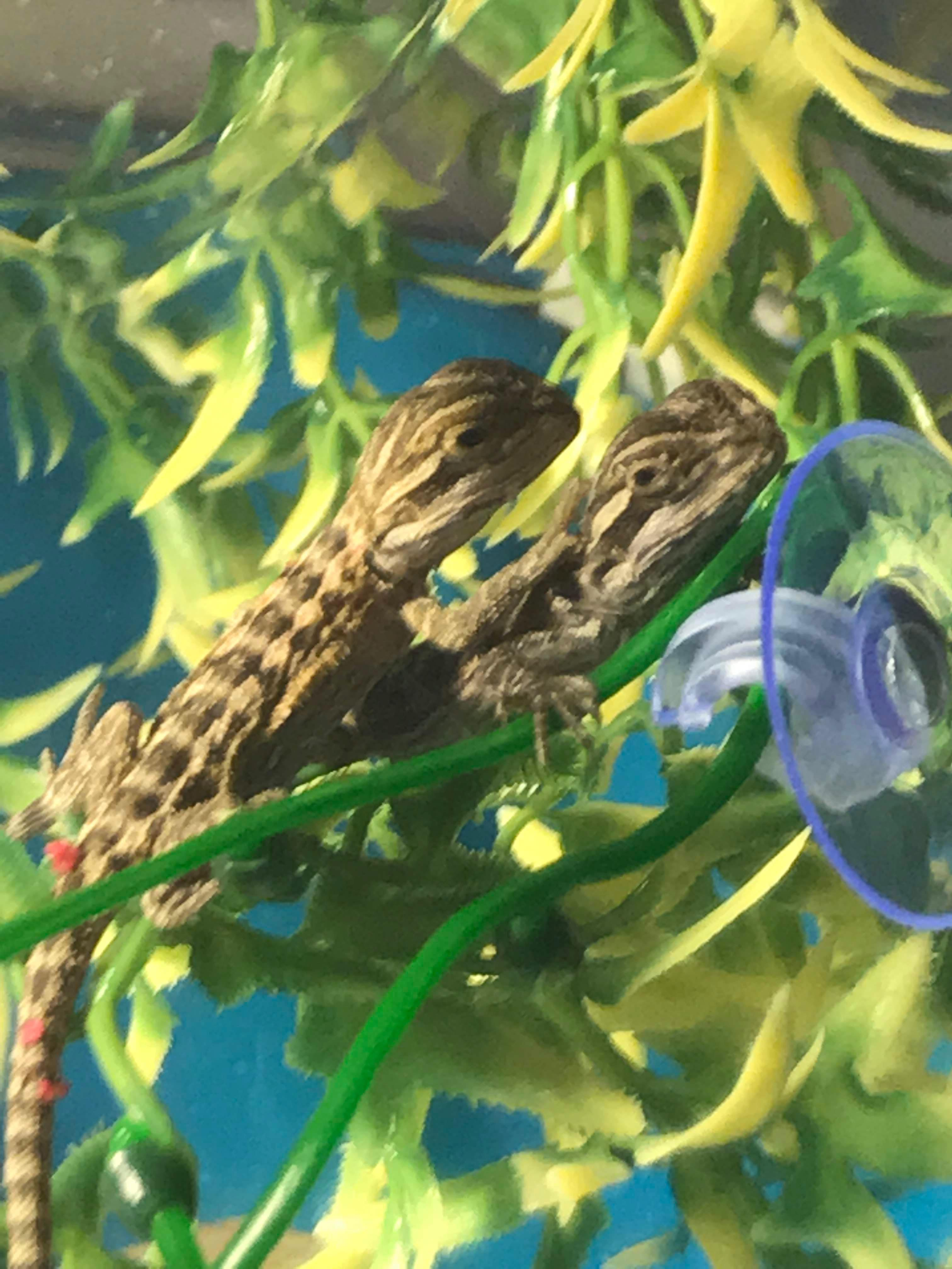 Baby Bearded Dragons for sale in Sutton-In-Ashfield   Friday-Ad