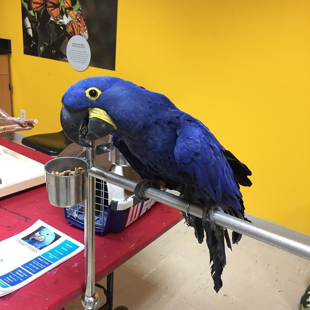 Hyacinth macaw for sale in Grantham | Friday-Ad