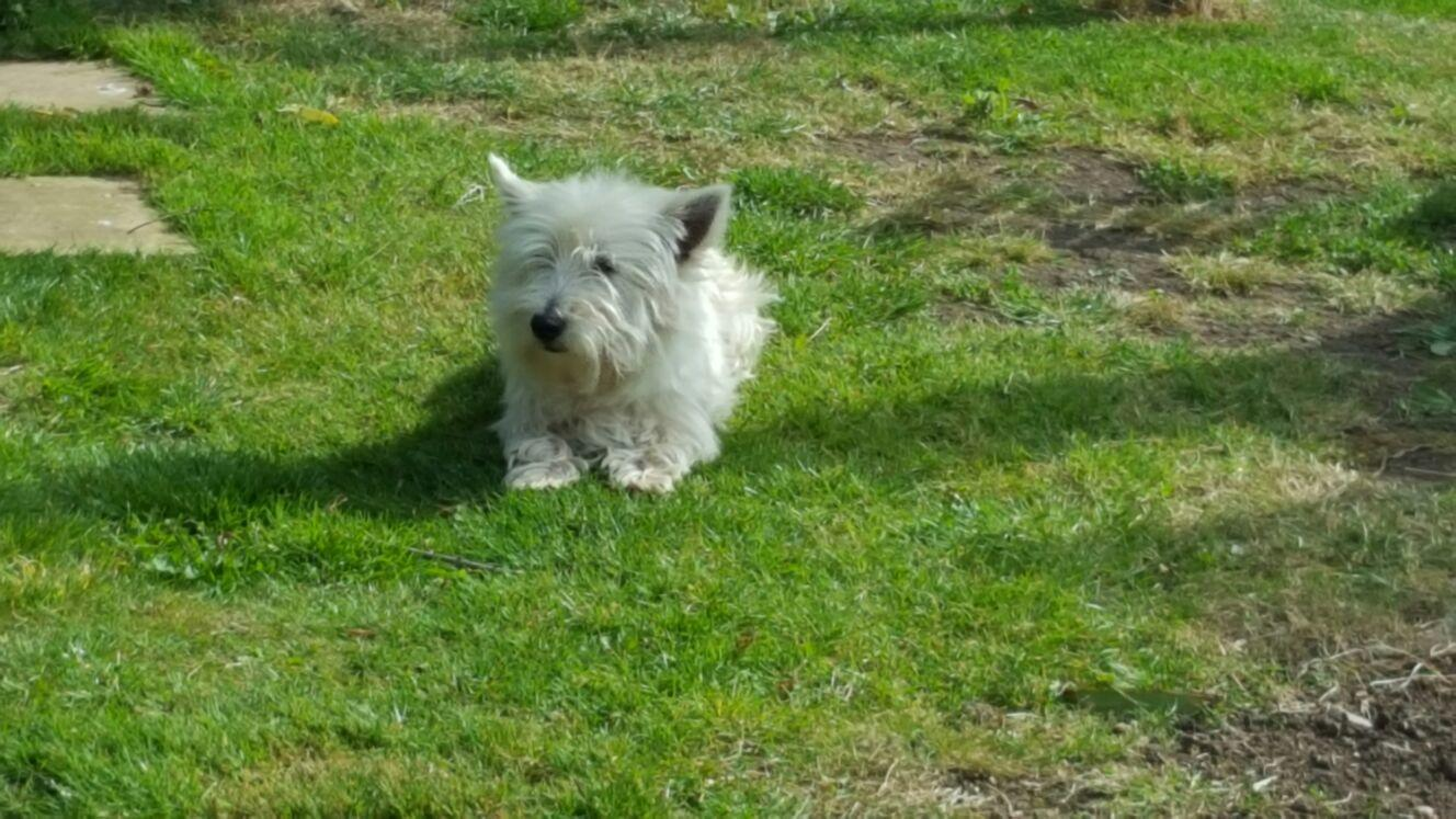 KC Reg'd West Highland White Terrier Puppies For STUD in Ely