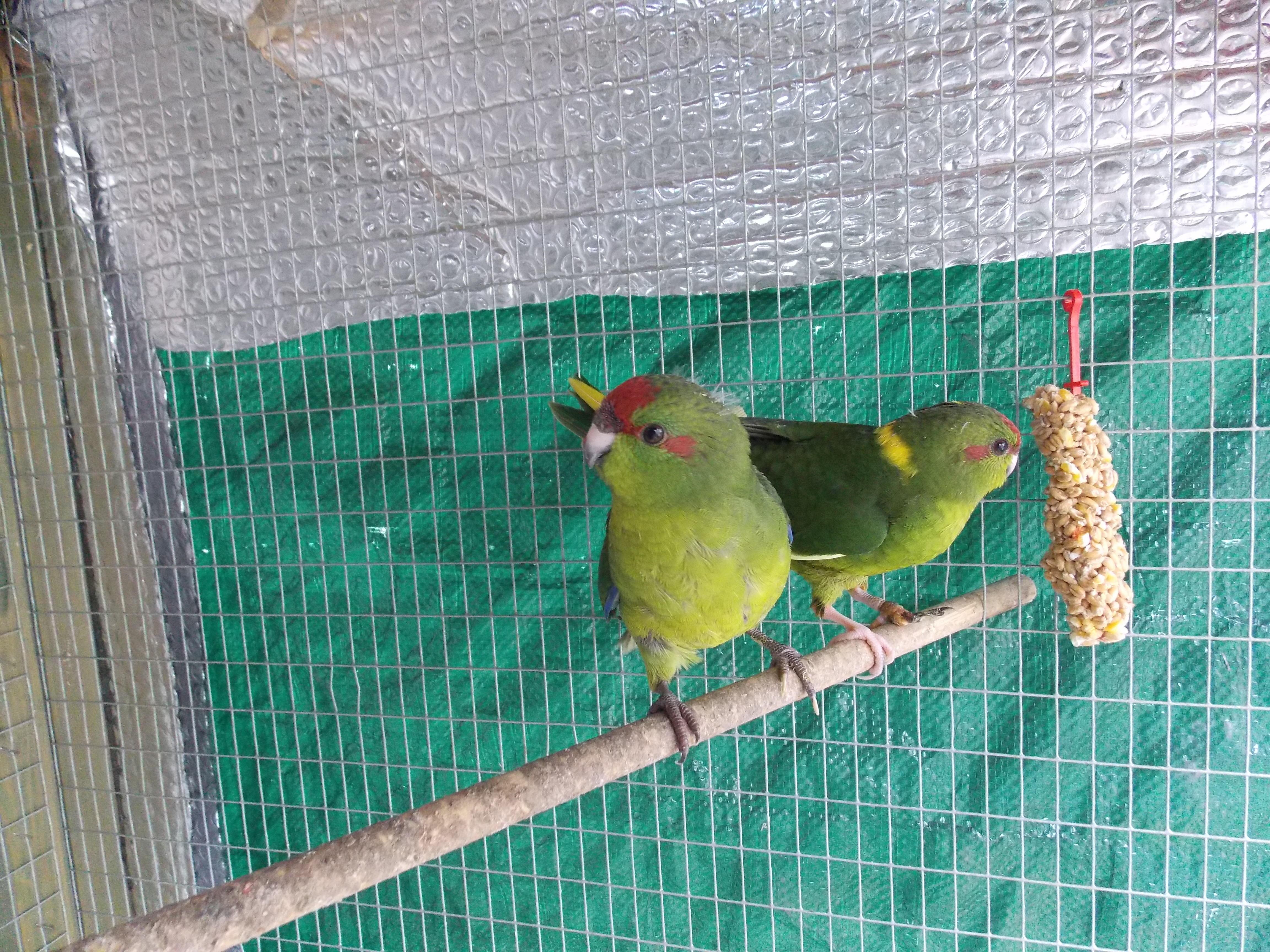 2 Kakariki birds born April 2019 in Billingshurst - Sold
