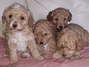 Golden apricot mini x toy poodle puppies in Chichester   Friday Ad