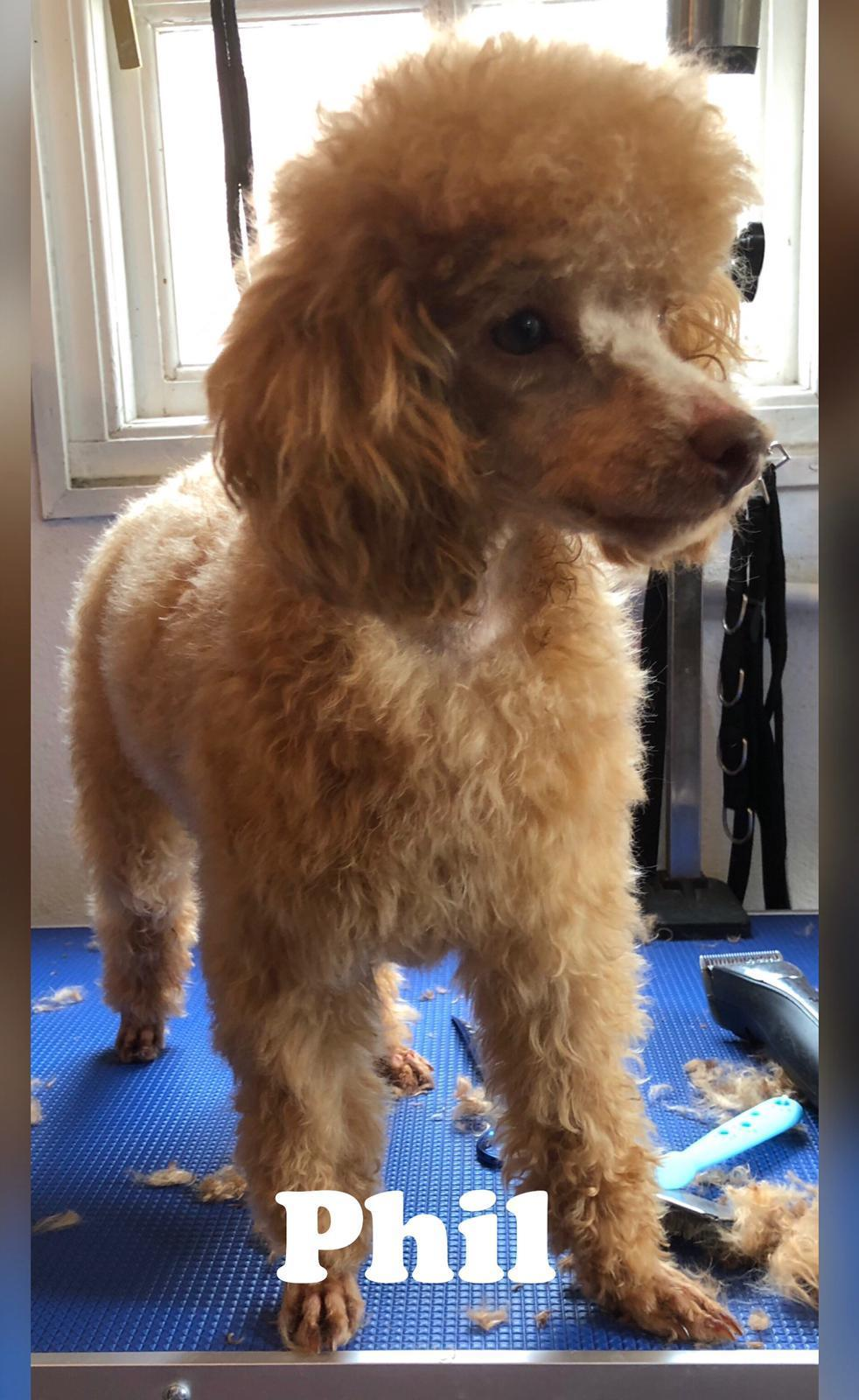 Kc reg red toy poodle FOR STUD not sale in London - Expired