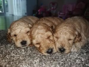 Cockapoo puppies & dogs for sale in West Bromwich | Friday-Ad