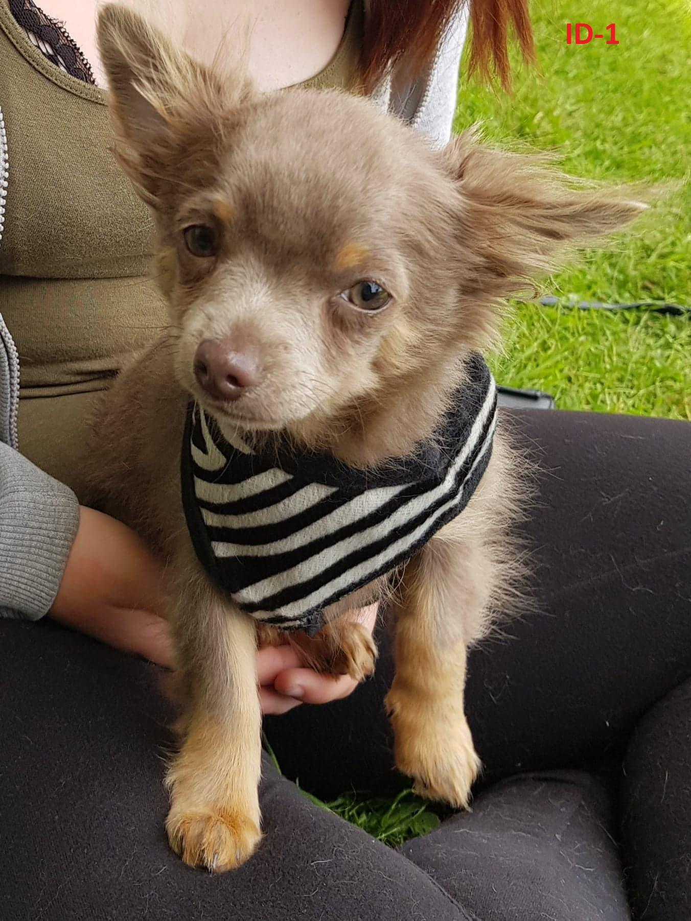 f7c6f25785 K.C. Registered Chihuahua Puppies one boy one girl in March | Friday Ad