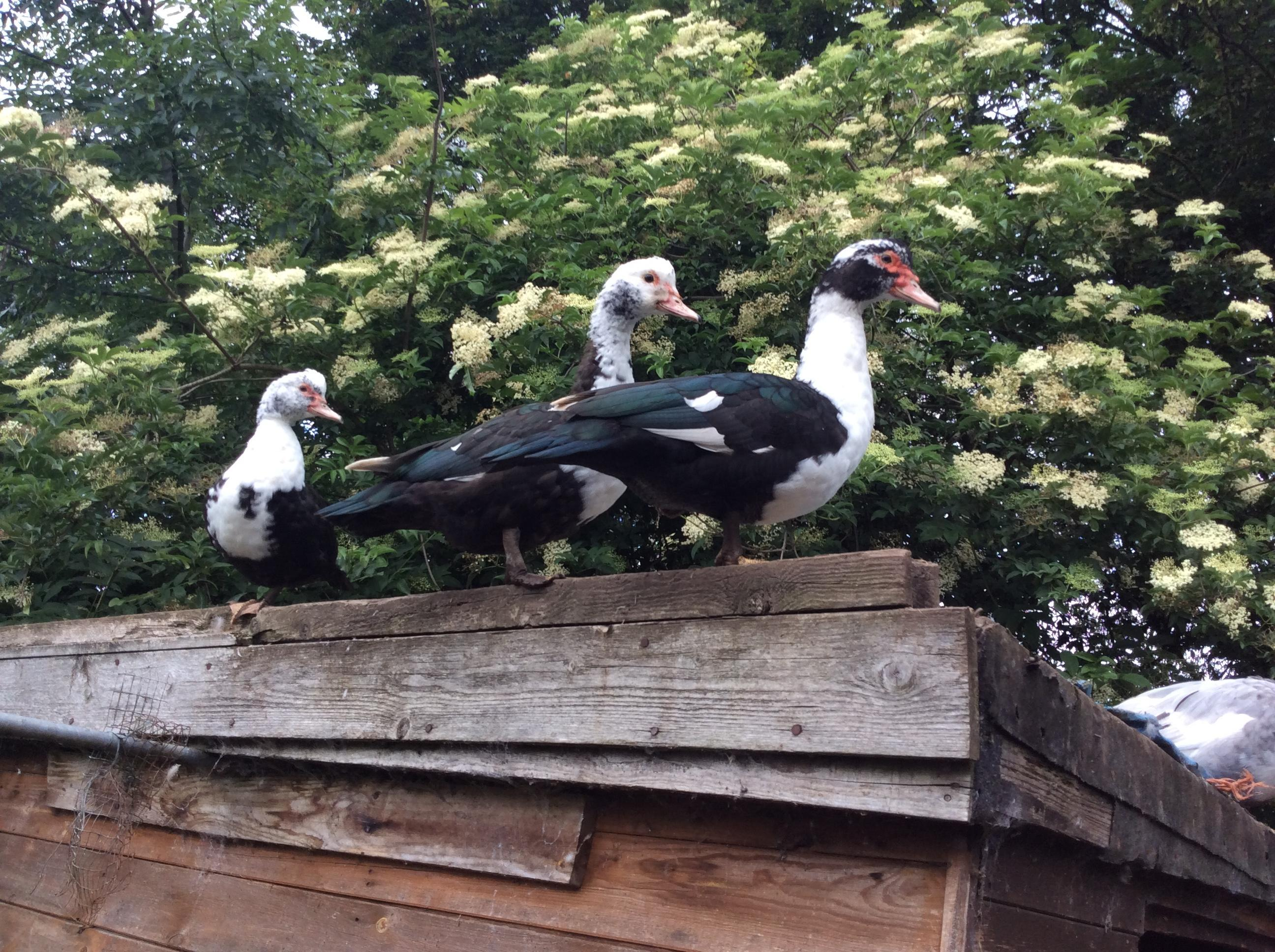 Muscovy ducks for sale in Worksop | Friday-Ad